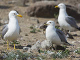 USA, Washington. California Gull and Chicks in Potholes Reservoir Photographic Print by Gary Luhm