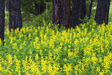 USA, Washington State, Ponderosa Pines and Yellow Lupine in Forest Photographic Print by Terry Eggers