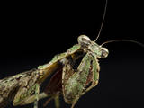 Female Grizzled Mantis Cleaning Antenna, Central Florida Photographic Print by Maresa Pryor