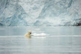 Norway, Spitsbergen, Fuglefjorden. Polar Bear Swimming Photographic Print by Steve Kazlowski