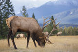 Canada, Alberta. Bull Rocky Mountain Elk in Open Savanna. Jasper Photographic Print by Gary Luhm