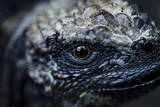 Galapagos, Ecuador. Santa Cruz Island. Juvenile Marine Iguana Eye Photographic Print by Mark Williford