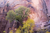 USA, Utah, Zion National Park, Zion Canyon and Cottonwood Trees Photographic Print by Jamie & Judy Wild