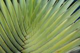 Belize, Placencia. Detail of Traveler's Palm Fotografisk tryk af Cindy Miller Hopkins
