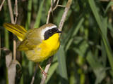 USA, Washington. Common Yellowthroat Perched Photographic Print by Gary Luhm