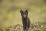 Norway, Western Spitsbergen. Arctic Fox Vixen in Blue Phase Photographic Print by Steve Kazlowski