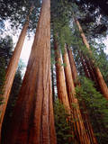 USA, California, Sierra Nevada. Old Grown Sequoia Redwood Trees Photographic Print by  Jaynes Gallery