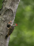 USA, Washington. Pileated Woodpecker at Nest Hole Feeding Chicks Photographic Print by Gary Luhm