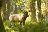 Washington, Olympic, Quinault River. Roosevelt Elk Bull Photographic Print by Steve Kazlowski