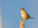 USA, Washington. Marsh Wren Sings from a Cattai at Union Bay Photographic Print by Gary Luhm