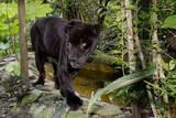 Belize, Belize City, Belize City Zoo. Black Panther (Captive) Photographic Print by Cindy Miller Hopkins