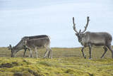 Norway, Spitsbergen, St. Jonsfjorden. Svalbard Reindeer and Calf Photographic Print by Steve Kazlowski