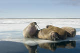 Norway, Spitsbergen, Nordauslandet. Walrus Group Rests on Sea Ice Photographic Print by Steve Kazlowski