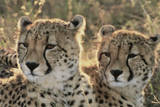 South Africa, Close-Up of Cheetahs Photographic Print by Amos Nachoum