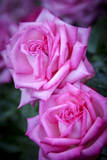 Rose from the Portland Rose Garden, Portland, Oregon, USA Photographic Print by Brian Jannsen