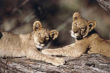 South Africa, Lion Cubs Photographic Print by Amos Nachoum