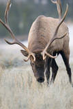Canada, Alberta. Rocky Mountain Elk Feeding During Fall Rut. Jasper Photographic Print by Gary Luhm