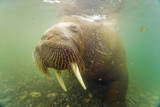 Norway, Spitsbergen. Curious Young Bull Walrus Underwater Photographic Print by Steve Kazlowski