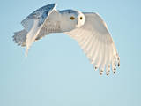 USA, Minnesota, Vermillion. Snowy Owl in Flight Photographic Print by Bernard Friel