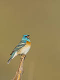 USA, Washington. Lazuli Bunting Sings from a Perch in Umtanum Canyon Photographic Print by Gary Luhm