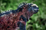 Galapagos, Ecuador, Floreana Island. Red Marine Iguana Photographic Print by Mark Williford