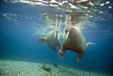 Norway, Spitsbergen, Nordaustlandet. Walrus Bull Swims Underwater Stampa fotografica di Steve Kazlowski