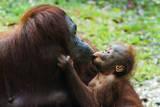 Malaysia, Sarawak, Semenggoh Nature Reserve, Orangutan and Baby Photographic Print by Nico Tondini