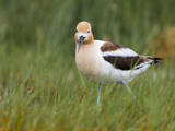 USA, Washington. American Avocet in Breeding Plumage at Soap Lake Photographic Print by Gary Luhm