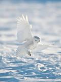 USA, Minnesota, Vermillion. Snowy Owl Landing on Snow Photographic Print by Bernard Friel