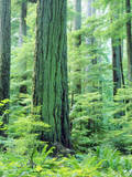 Canada, Vancouver Island. Old-Growth Douglas Fir Tree Photographic Print by  Jaynes Gallery