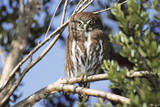 Austral Pygmy Owl Perching on Branch Photographic Print by Andres Morya Hinojosa