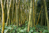 Bamboo Grove in Allerton Garden, Kauai, Hawaii, USA Photographic Print by Roddy Scheer