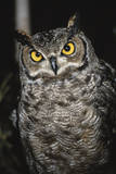 Great Horned Owl Photographic Print by Andres Morya Hinojosa
