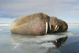 Norway, Spitsbergen, Nordauslandet. Walrus Group Rests on Sea Ice Stampa fotografica di Steve Kazlowski