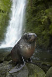 Baby New Zealand Fur Seal at Ohai Stream Waterfall, New Zealand Photographic Print by David Wall