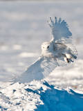 USA, Minnesota, Vermillion. Snowy Owl Landing on Snow Photographic Print by Bernard Friel