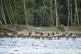 Washington, Olympic, Quinault River. Roosevelt Elk Herd Crossing Photographic Print by Steve Kazlowski
