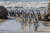 African Penguins, Boulders Beach, Western Cape Province, South Africa Photographic Print by Charles Cecil
