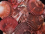 Scallop Shells Photographic Print by James Randklev