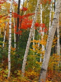 Birch and Maple Trees in Autumn Photographic Print by James Randklev