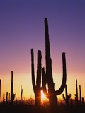 Saguaro Cacti at Sunset Photographic Print by James Randklev