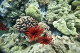 Pencil Urchin and Hard Coral, Maui, Hawaii Photographic Print by Ron Dahlquist
