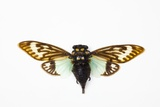Flying Insect from Asia in the Cicada Family on White Background Photographic Print by Darrell Gulin