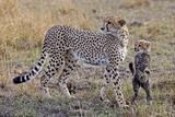 Mother Cheetah with Her Baby Cub in the Savanah of the Masai Mara Reserve, Kenya Africa Fotografisk trykk av Darrell Gulin