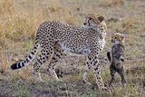Mother Cheetah with Her Baby Cub in the Savanah of the Masai Mara Reserve, Kenya Africa Impressão fotográfica por Darrell Gulin