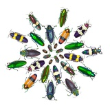 Cicular Design Pattern of Jewel Beetles Photographic Print by Darrell Gulin
