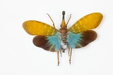 Flying Bug from Asia Pyrops in the Fulgoridae Family Photographic Print by Darrell Gulin