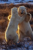 Polar Bears Fighting Photographic Print by Darrell Gulin