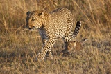 Mother Leopard with Her Baby Cub, Masai Mara, Kenya Africa Photographic Print by Darrell Gulin