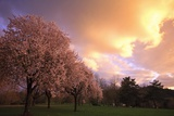 Blooming Cherry Trees at Sunset Photographic Print by Craig Tuttle
